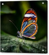 Glasswing Butterfly Iridescence  Acrylic Print