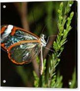 Glasswinged Butterfly Acrylic Print