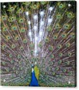 Glassy Peacock  Acrylic Print
