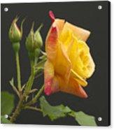 Glenn's Rose Acrylic Print