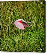 Gliding Spoonbill In Bayou Acrylic Print