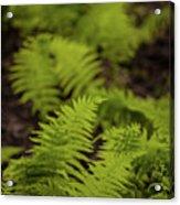 Glimmering Ferns Acrylic Print