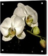 Glissoning Orchids Acrylic Print