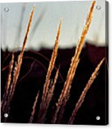 Glistening Grass Acrylic Print
