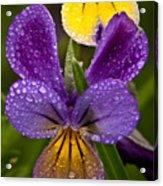 Glittered Wild Pansies Acrylic Print