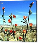 Globe Mallows Acrylic Print