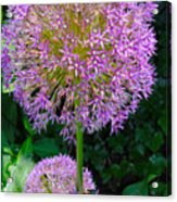 Globe Thistle Flowers Acrylic Print by Corey Ford