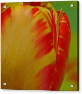 Globe Tulip Acrylic Print