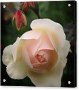 Glowing Rose Acrylic Print