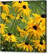 Gloriosa Daisies Acrylic Print