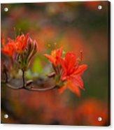 Glorious Blooms Acrylic Print