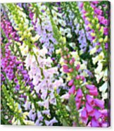 Glorious Foxgloves Acrylic Print