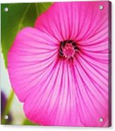 Glorious In Pink Acrylic Print