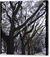 Glorious Live Oaks With Framing Acrylic Print