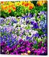 Glorious Pansies Acrylic Print