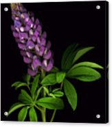 Glorious Purple Lupine Acrylic Print