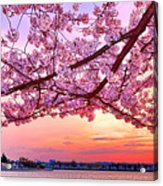 Glorious Sunset Over Cherry Tree At The Jefferson Memorial  Acrylic Print