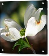 Glory Of Spring Acrylic Print