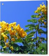 Glossy Shower Senna Tree Acrylic Print
