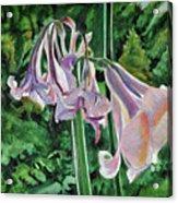 Glowing Amaryllis Acrylic Print