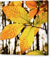 Glowing Beech Leaf Branch Acrylic Print