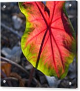 Glowing Coladium Leaf Acrylic Print