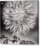 Glowing Dahlia Acrylic Print