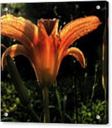 Glowing Day Lily Acrylic Print