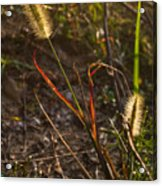 Glowing Foxtails Acrylic Print