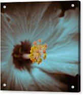 Glowing Hibiscus Acrylic Print
