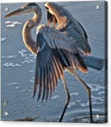 Glowing In The Sun - Heron Acrylic Print