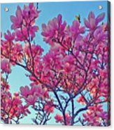 Glowing Magnolia Acrylic Print
