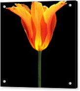 Glowing Orange Tulip Flower Acrylic Print