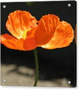 Glowing Poppy Acrylic Print