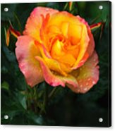 Glowing Rose Acrylic Print