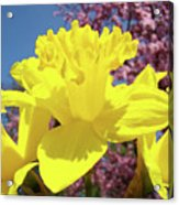 Glowing Yellow Daffodils Art Prints Pink Blossoms Spring Baslee Troutman Acrylic Print