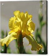 Glowing Yellow Iris Acrylic Print