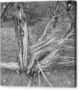 Gnarled Cedar Stump Acrylic Print