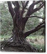 Gnarled Oak Acrylic Print