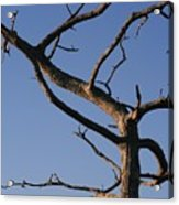 Gnarly Tree Acrylic Print