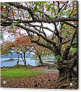 Gnarly Trees Of South Hilo Bay - Hawaii Acrylic Print