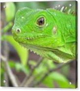 Go Iguana Green 2 Acrylic Print