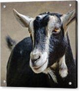 Goat 2 Acrylic Print