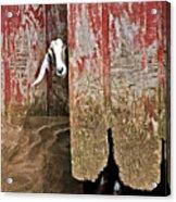 Goat And Old Barn Door Acrylic Print