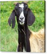 Goat Dental Floss Acrylic Print
