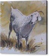 Goat Acrylic Print