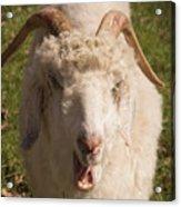 Goat Eating Acrylic Print