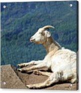 Goat Enjoy The Sun Acrylic Print