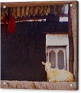 Goat In Window Acrylic Print