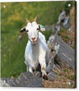 Goat Posing Acrylic Print